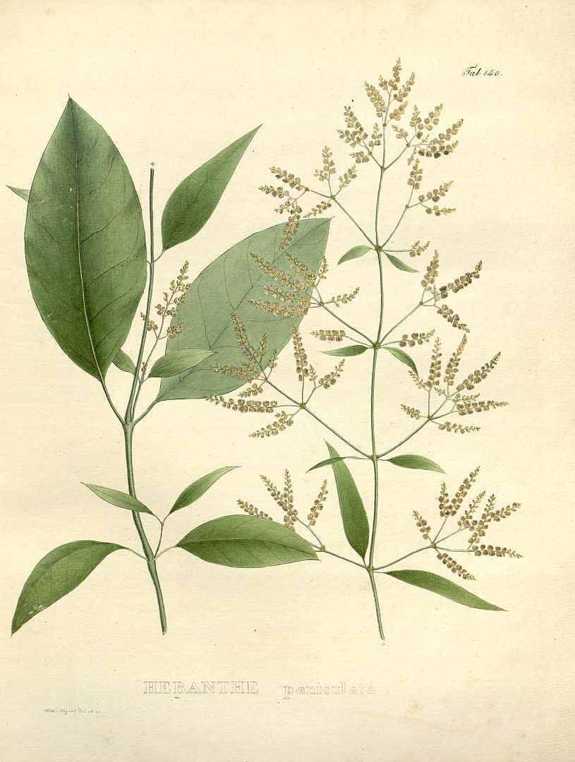 Esta planta Amazónica, la Pfaffia Paniculata, trata las celulás enfermas